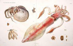 Cephalopodi