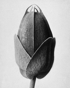 A Minute of Perfection, Karl Blossfeldt