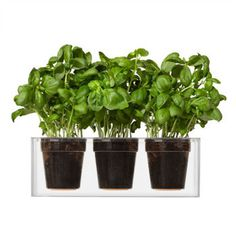 Stop watering your plant daily. With the Self-Watering Clear Cube Planter, you only water once a month.