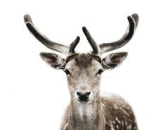 mortenkolby9.png (721×566) #antlers #deer