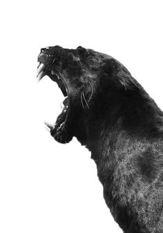 Filth Flarn Filth #animal #photography #black and white #jaguar #teeth #big cat #roar #feline