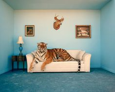 tumblr_ltw439fjnv1qce0too1_1280.png (997×801) #sofa #tiger
