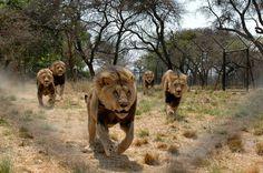 6315554565_d0b0c7f688_b.jpg (1024×681) #pack #lions #hunting