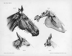 Anatomy of a horse's head. #horses #horse #head #anatomy #illustration