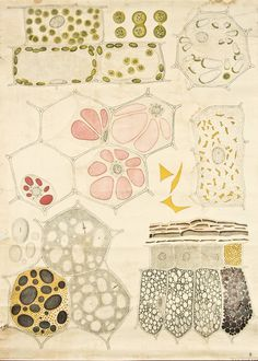 Explore – Such gorgeous vintage anatomy of plant cells.... #illustration