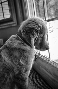 Pet Photograph by Joel Kelly - My dog being a bit dramatic. #beauty #drama #white #black #fur #window #photography #puppy #and #cute #animal #dog