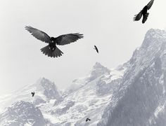 Nick Meek #contrast #photography #snow #bird #mountains