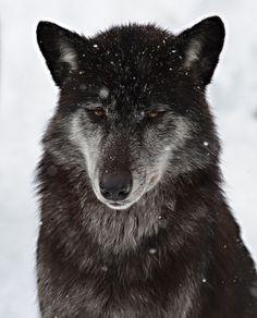 A wolf, B&W