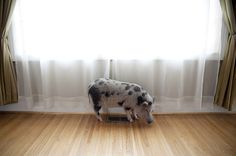 CROZET: Photo #melcer #pig #jessi #portrait #animals #pet