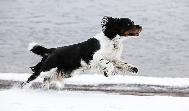 Running Niki   Flickr - Photo Sharing! #movement #hound #snow #fur #running #fast #dog