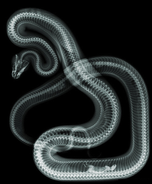 Snake X-Ray ::: this isn't happiness™ #slither #mouse #dinner #coil #serpent #snake #ray #digestion #photography #reptile