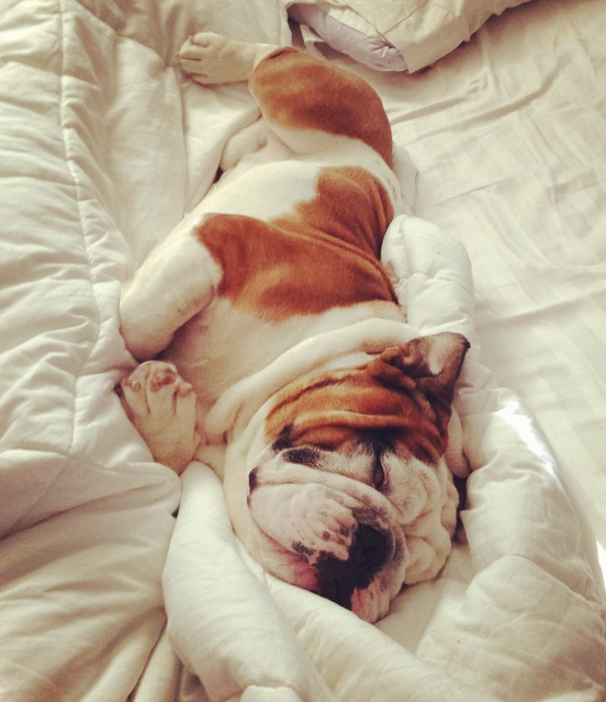 Pure Comfort #relaxation #comfort #sleep #photography #soft #cute #bull #animal #dog
