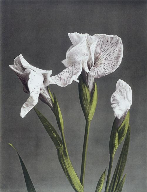 6072:Ogawa Kazuma, Iris Kaempferi II.Collotype photograph. Japan, late 19th century. From the V&A Collections. #illustration