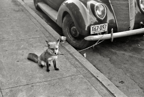"""That Kind Of Woman · October 1940. Moorhead, Minnesota. """"Fox chained to... #white #fox #automobile #black #photography #and #car"""