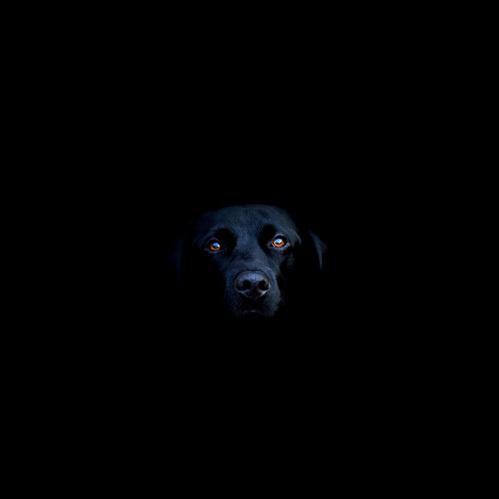 this isn't happiness.™ #labrador #gothic #black #dog