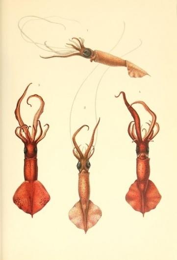 Scientific Illustration | laurenbeckwith: vintage squid book plate #illustration #animal #scientific