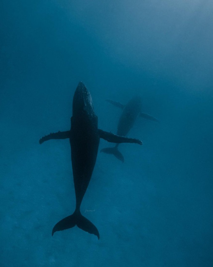 Spectacular Underwater Photos of Whales by Jasmine Carey