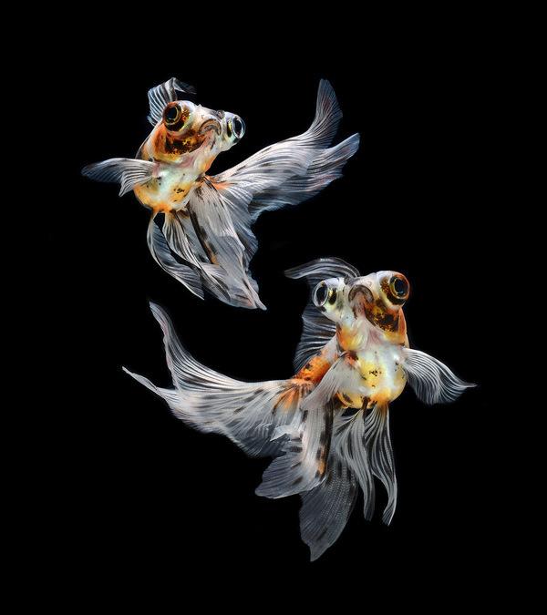 Stunning Portraits of Siamese Fighting Fish by Visarute Angkatavanich #betta #fish #photography #portrait #macro #underwater