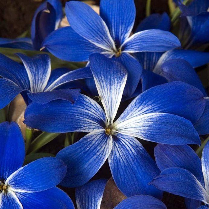Crocus Flower Picture