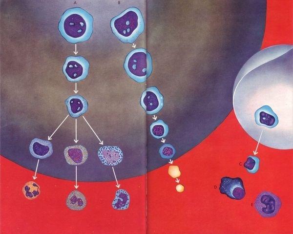 Buamai All Available Sizes | 06 Formation Des Elements Du Sang Dans La Moelle, Illus. E. Patergnani (le Livre De Sante, V.4, 1967) | Flick #infographic #science