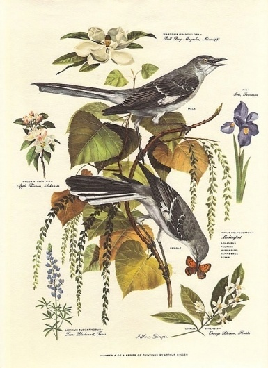 Vintage Arthur Singer MOCKINGBIRD Bird by vintagegoodness on Etsy #botanical #print #birds #illustration #etsy #vintage