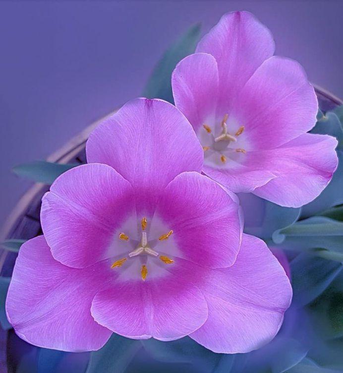 Brilliant Tulips by Yenny