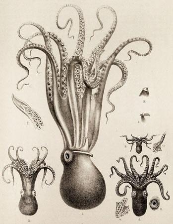 Scientific Illustration | kizioko: squid art (by Vintage Collective) #viontage #illustration #scientific