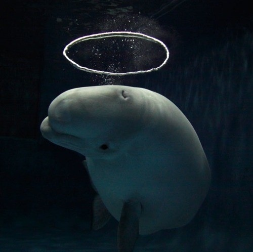 Jay Mug — This Japanese Beluga whale has become a sensation...