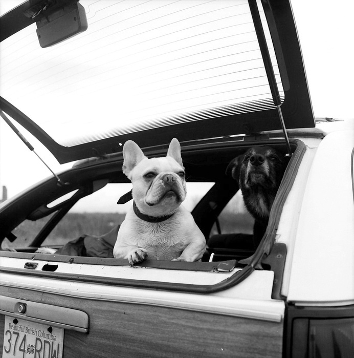 The Boss #white #trunk #waiting #boot #patience #boss #black #photography #and #cute #bulldog #car #friends #dog