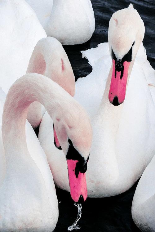 Xuebing DU #photography #swan #photography #swan #pink