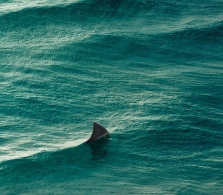 shark #ocean #ripples #water #shark #fin #surface #jaws #photography #waves