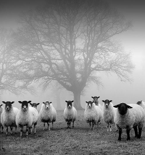 Sin título | Flickr: Intercambio de fotos #white #fog #black #minimalism #photography #and #sheep