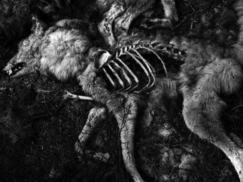 DETHJUNKIE* #photography #death #wolf