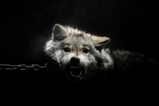 Gods and Beasts on the Behance Network #chains #photography #wolf