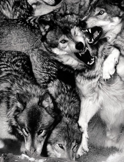 Tumblr #wolves