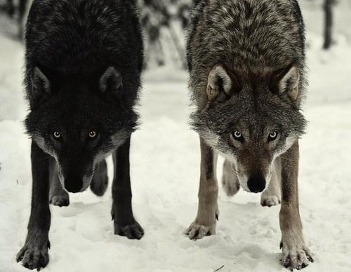 tumblr_l0ffkxIRQg1qzs56do1_500.jpg (500×388) #wolves