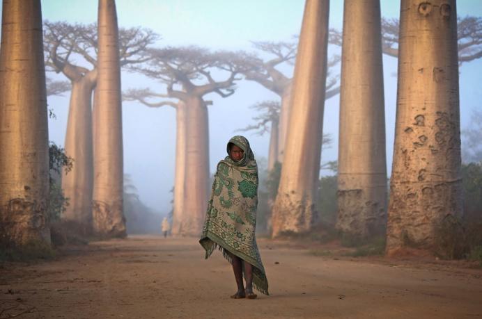 Menina malagasy caminha entre as árvores Baobab