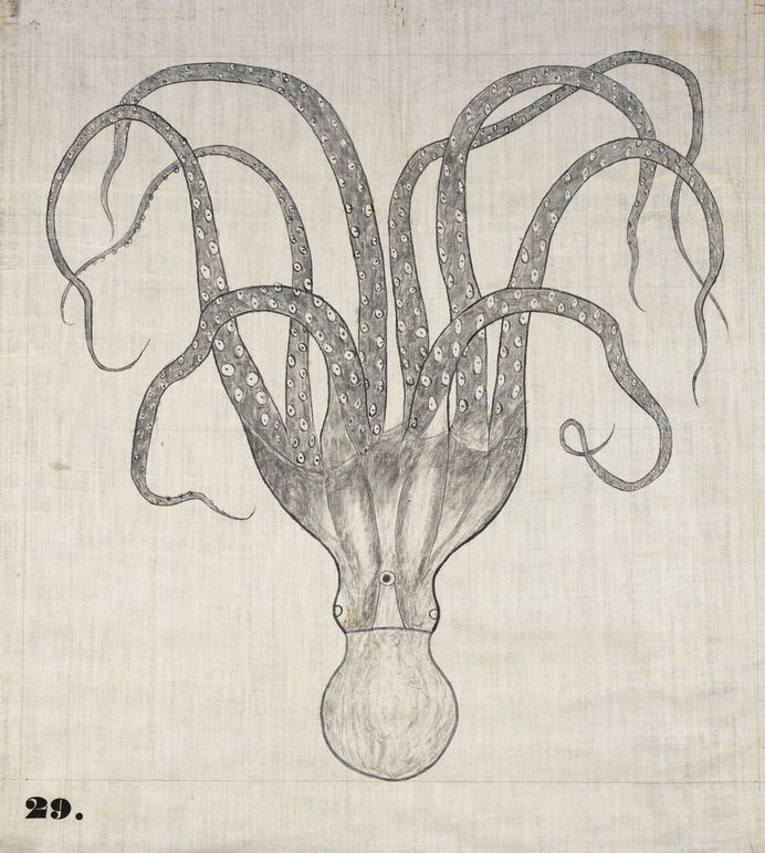 """One of Orra White Hitchcock's classroom charts, simply titled """"Octopus"""" (1828–1840)."""