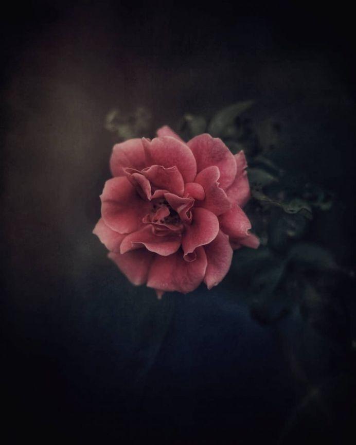 Beautiful rose by Debby Yao