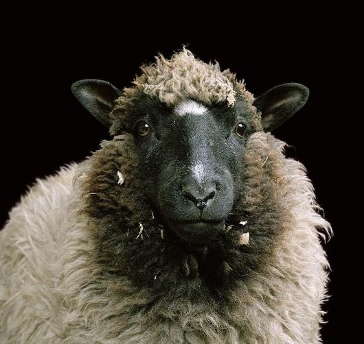 Fantastic Portraits of Farm Animals - My Modern Metropolis #sheep