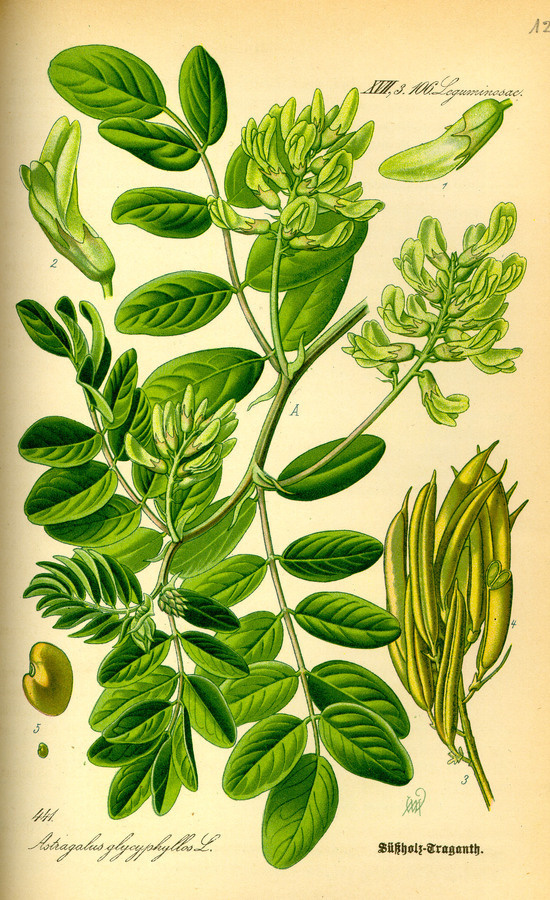 Illustration: Astragalus glycyphyllos #wilhelm #flora #thom #biology #print #fauna #otto #dr #illustration #and