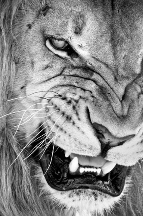 3NI4FG.jpg (475×715) #lion #snarling