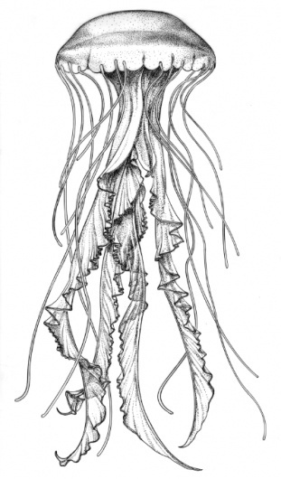 C_quinquecirrha_3.jpg (JPEG Image, 400x680 pixels) #jellyfish #illustration