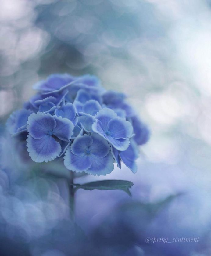Hydrangeas have started blooming here by Noriko