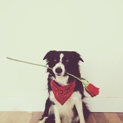 Hope you #rose #present #photography #animal #dog