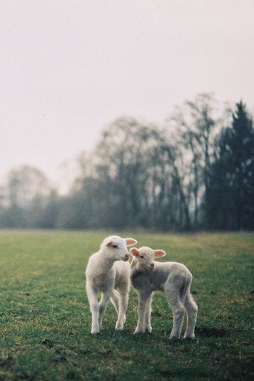 Likes | Tumblr #nature #lamb