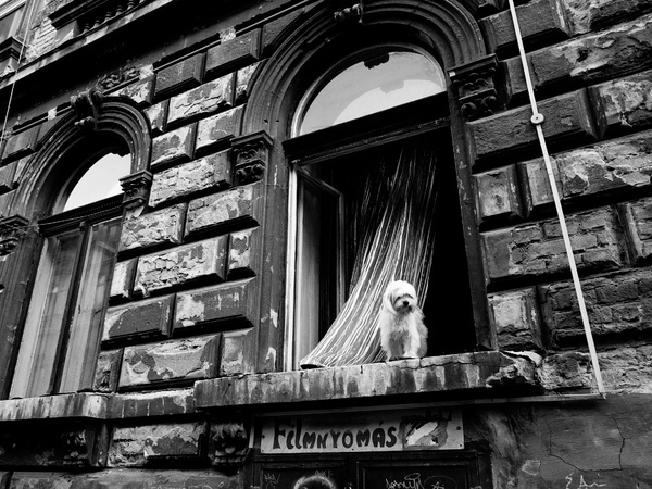 Dog in the window #white #budapest #black #and #window #dog