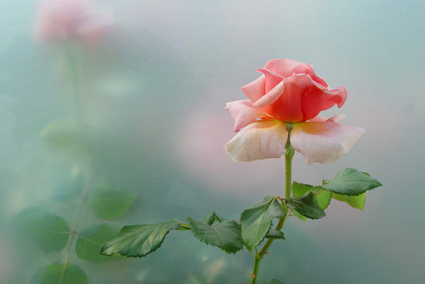 45 Beautiful Pictures of Roses #pictures #roses