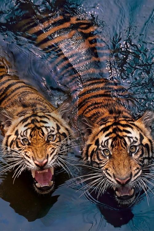 vurtual:Tiger Couple (by Robert Cinega) #tigers