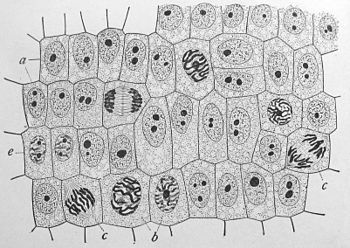 The human cell, via Wikipedia #cell #science #biology